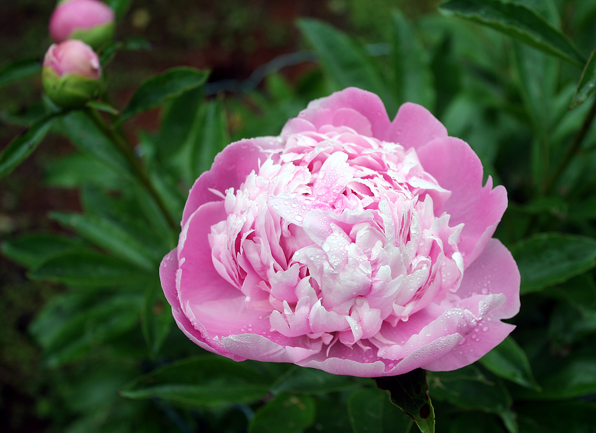 marees ceremonies peony wedding flower